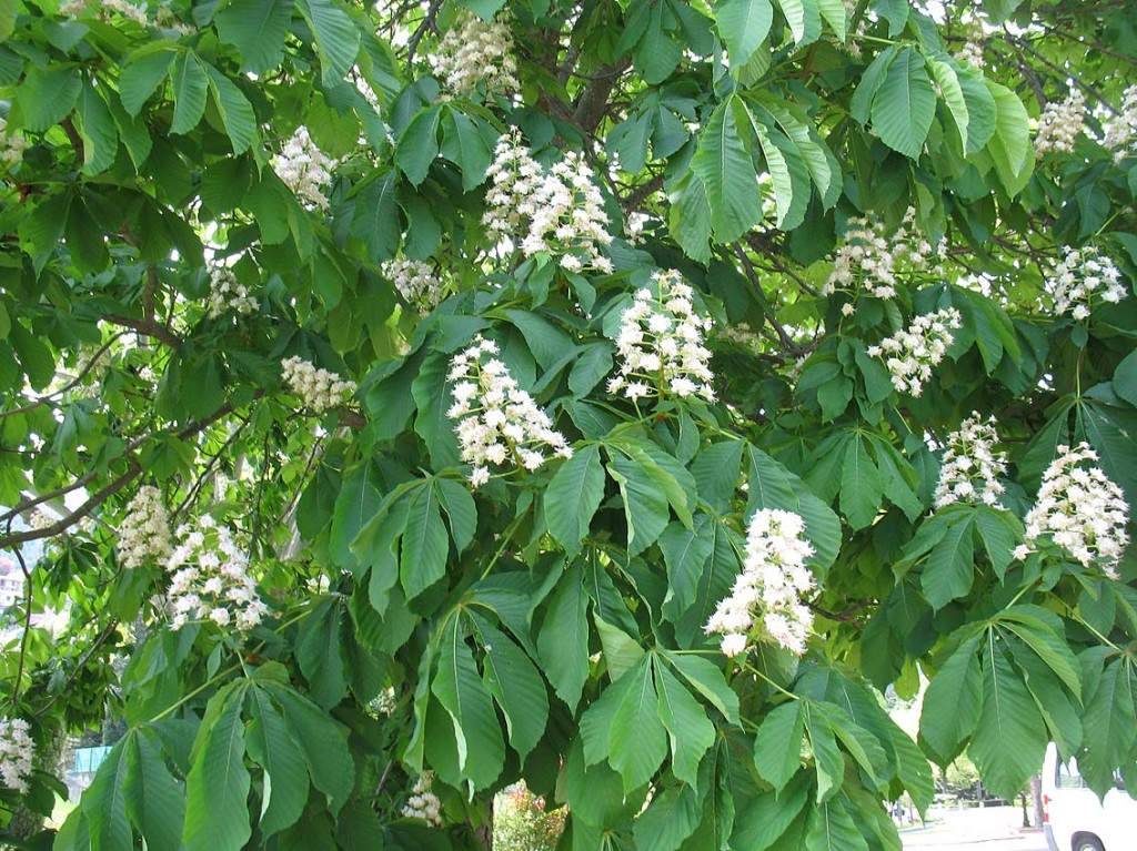 And now, number one : the larch. And now, number one : the horse chestnut tree.